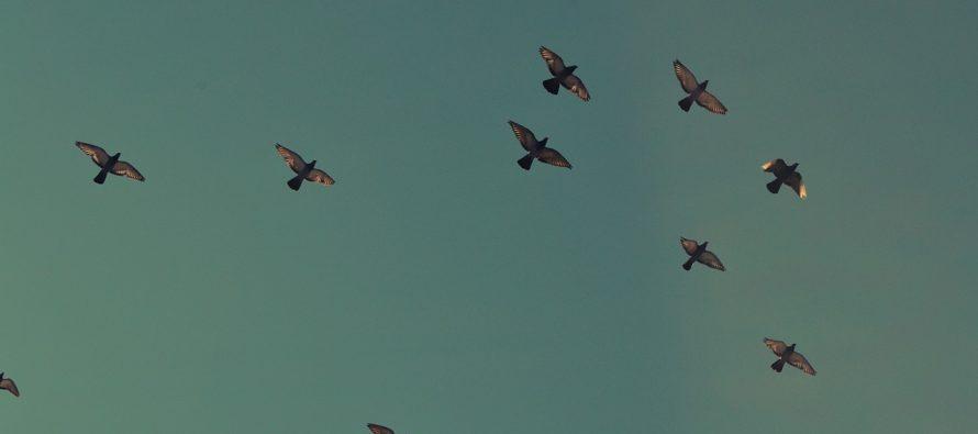 "Kako golubovi izbegavaju ""prepreke"" dok lete?"