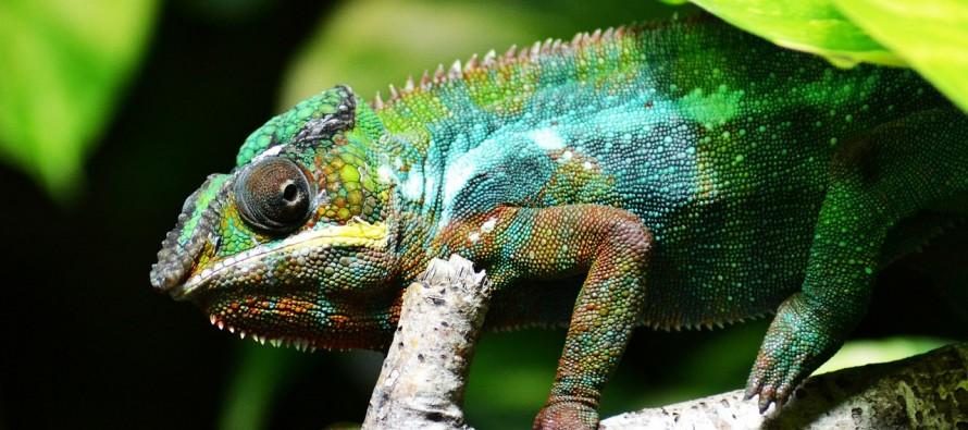 Otkriveno kako kameleon menja boje