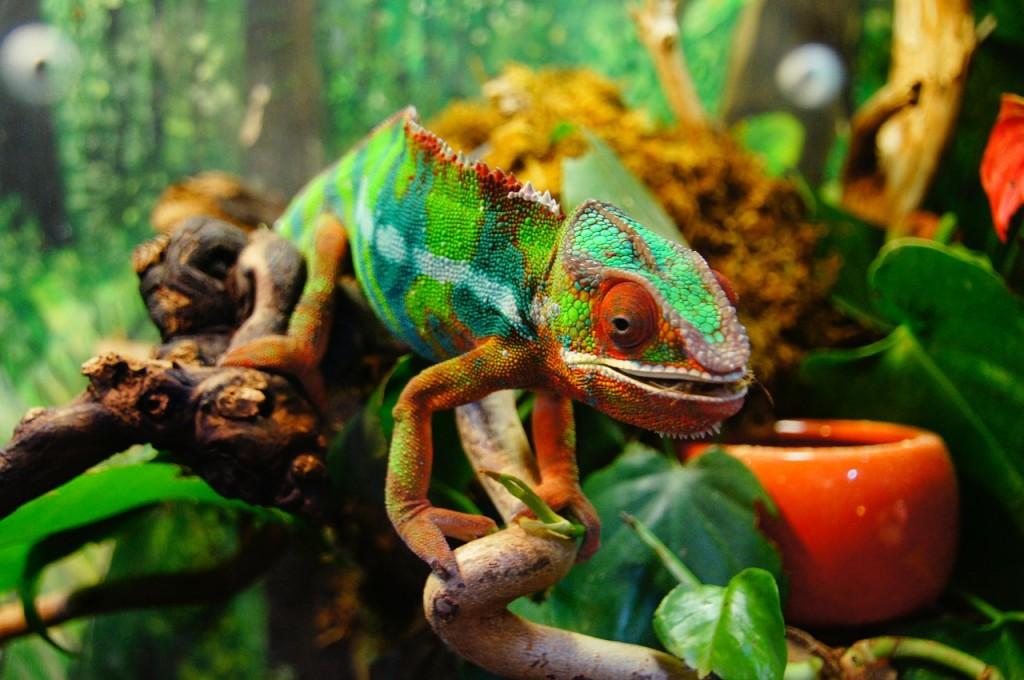 kameleon-boje