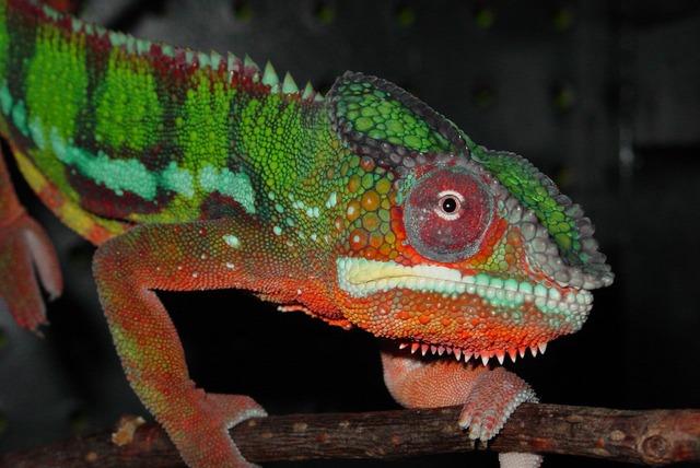 kameleon-menjanje-boja