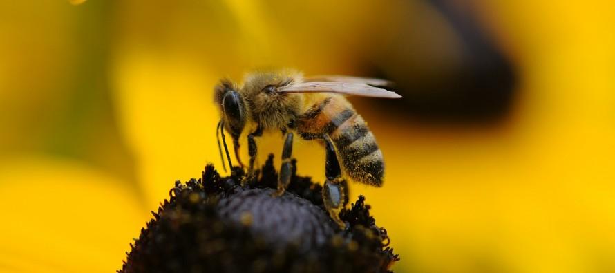 Pčele – inteligentni insekti