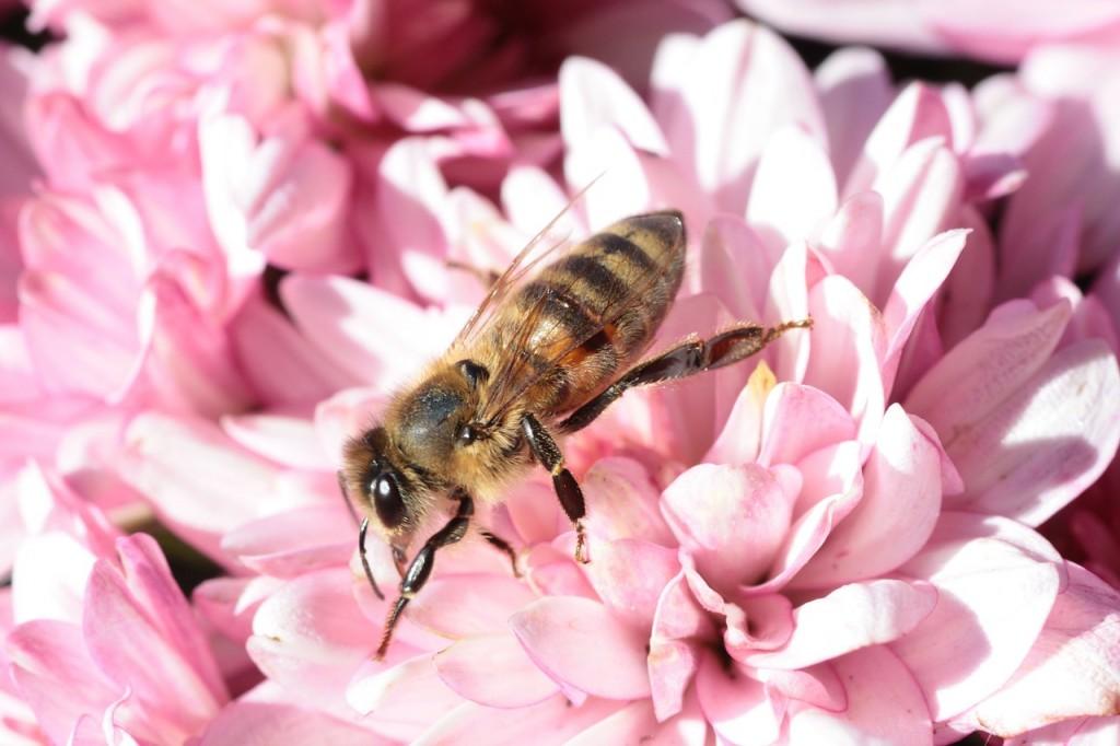 pcela-cvet