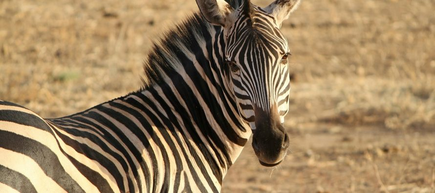 Zašto su zebre crno-bele?