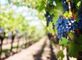 Zašto dolazi do zapaljivanja grožđa u mikrotalasnoj pećnici?