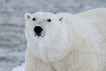 Sve manji broj polarnih medveda!