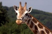 Kako je izgledao predak žirafe?