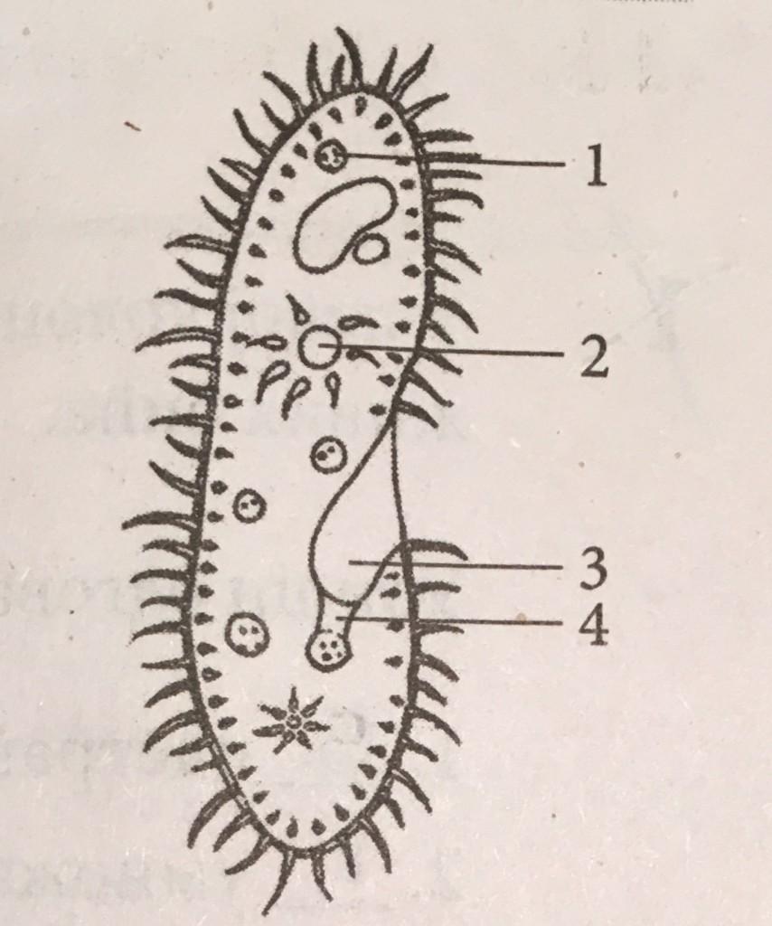 biologija organela