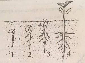 biologija proces klijanja pasulja