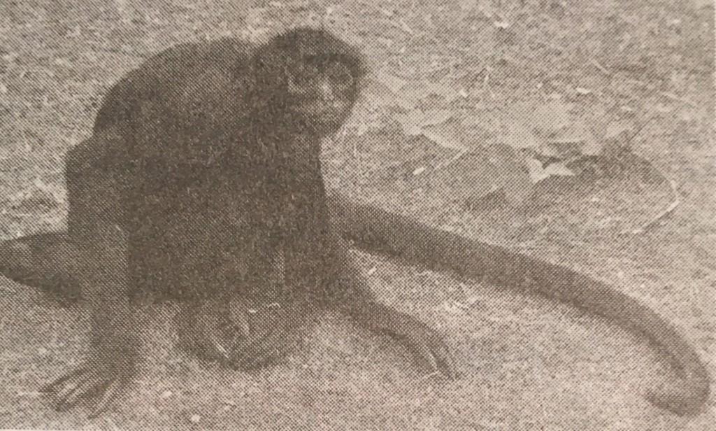 Biologija vrsta pauk majmuna