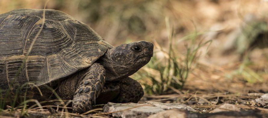 Čemu kornjačama služi oklop?