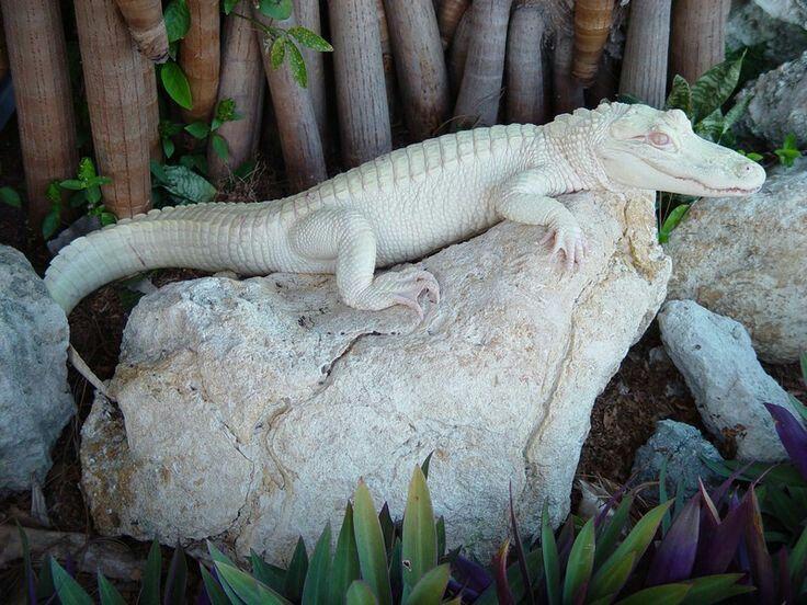 Beli aligator