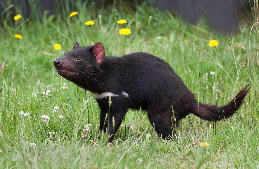 Tasmanijski đavo