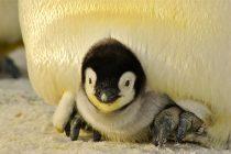 Obeležavanje Svetskog dana pingvina
