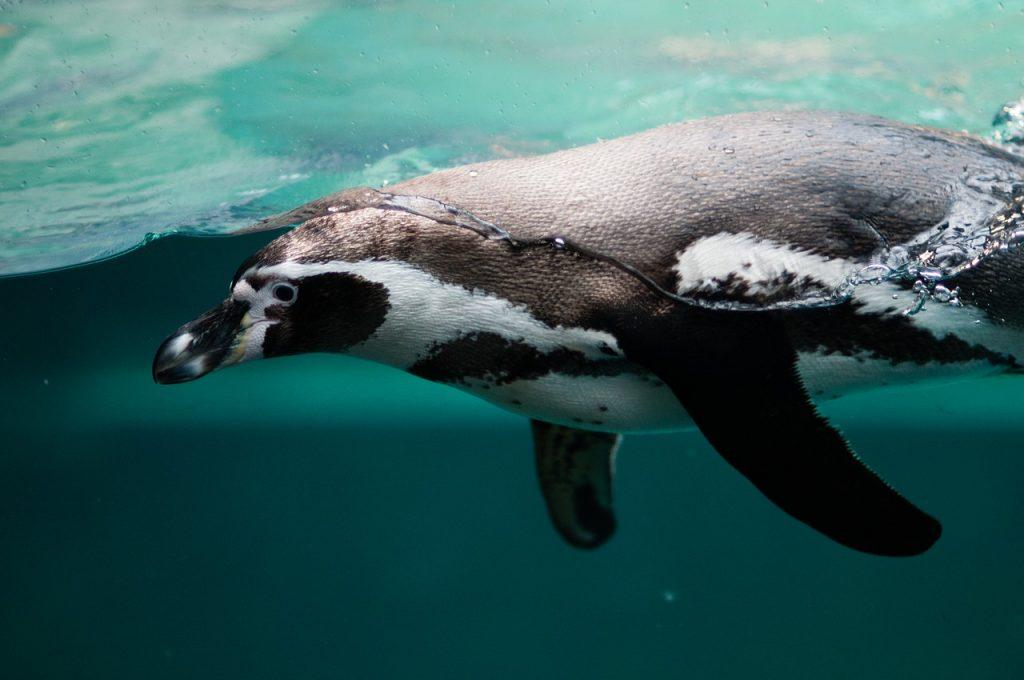pingvin pliva