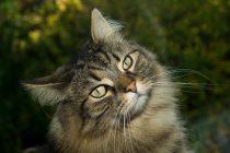 Kako mačke predu i zašto to rade?