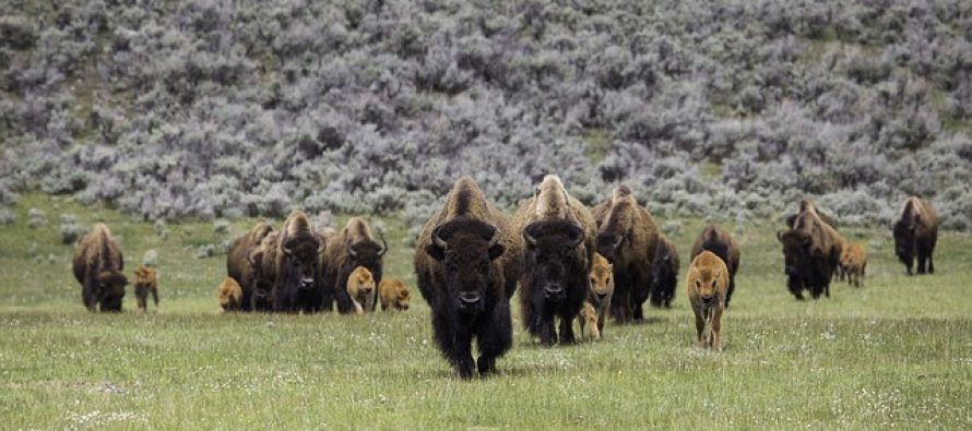 Koja je razlika između bizona i bivola?