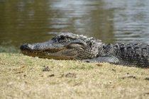 Krokodil živi već godinu dana sa automobilskom gumom oko vrata