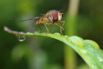 Nova vrsta muve dobila ime po Švarcenegeru, a pogledajte i zašto!