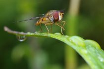 Ko su i gde žive Cece muve?
