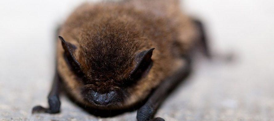 Ostaci džinovskog slepog miša pronađeni na Novom Zelandu