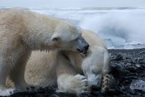 Zašto se polarni medvedi sele