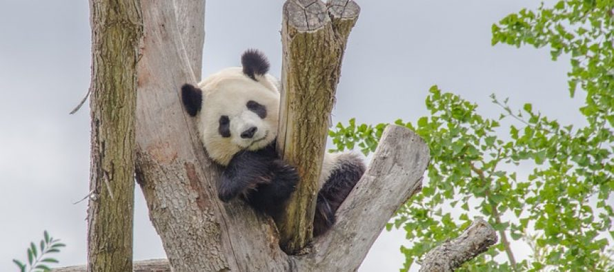 Kina pravi džnovski prirodnjački park za pande