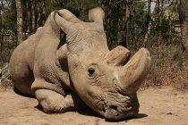 Poslednji severni beli nosorog na svetu umire