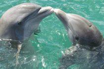 Raspoznaju li delfini jedni druge?