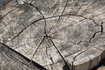 Otkriveno najstarije drvo u Evropi