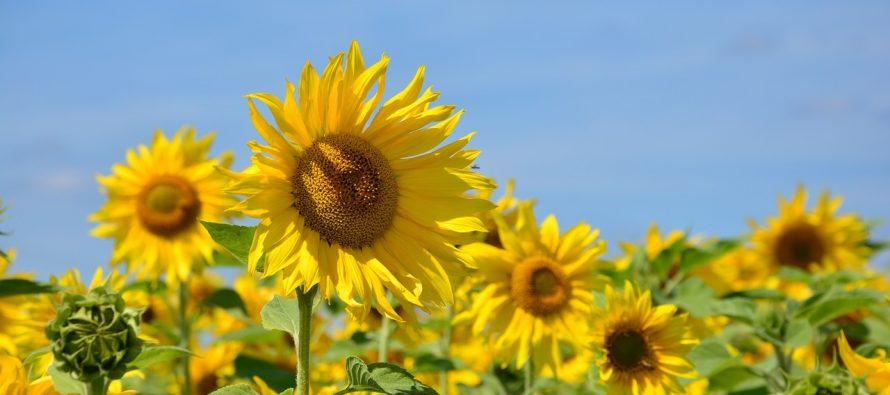 Znate li zašto suncokreti prate Sunce?