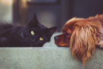 Da li su pametniji ljubitelji mačaka ili ljubitelji pasa?