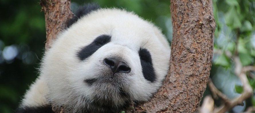 Pande su prvo bile mesožderi, onda vegeterijanci, a danas jedu samo bambus