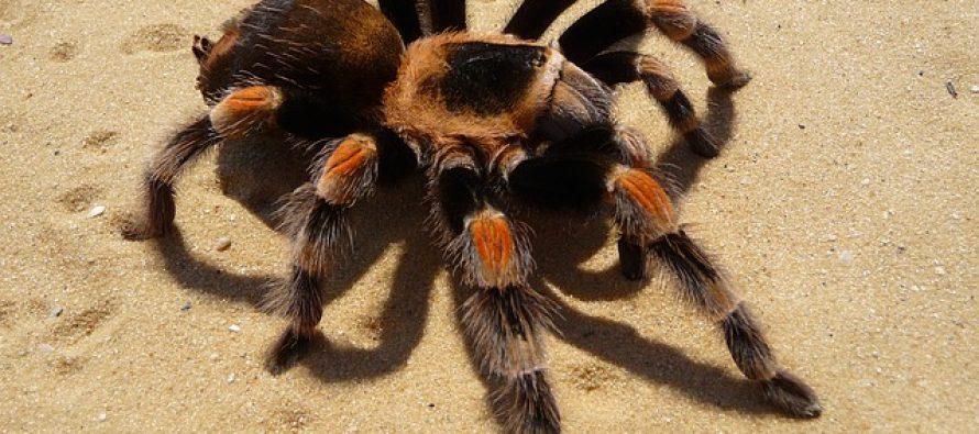 Otkrivena nova, bizarna vrsta tarantule!