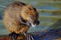 Otkrivene nove vrste sisara