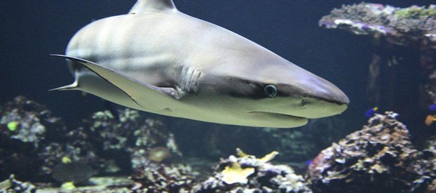 U koži ajkule: Evo kako izgleda kada ovaj morski predator lovi