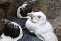 Jedini poznati albino pingvin na svetu dobio novi dom