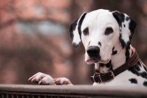 Zašto su vatrogasni psi uglavnom dalmatinci?