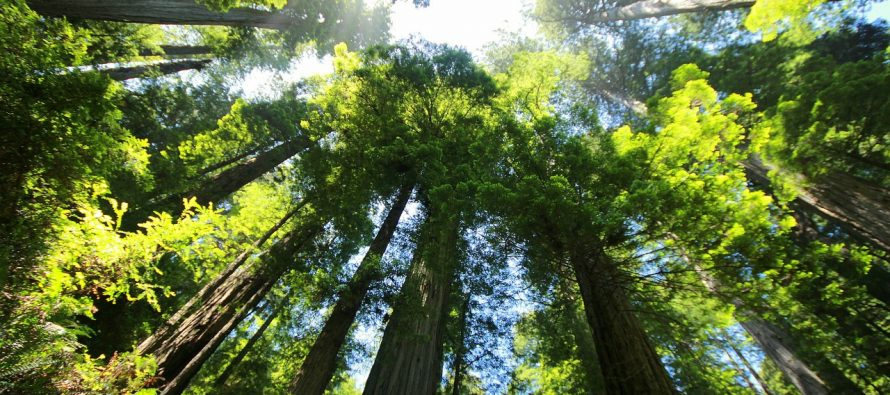 Koliko je visoko najviše drvo na svetu?