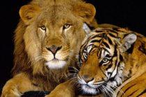 Zanimljive činjenice o lavovima i tigrovima