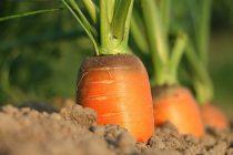 Šargarepa za jačanje imuniteta