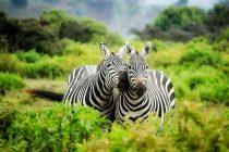 Zašto je priroda dala zebrama pruge?
