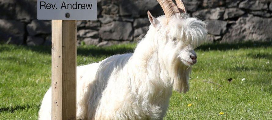 Invazija divljih koza u jednom velškom gradu