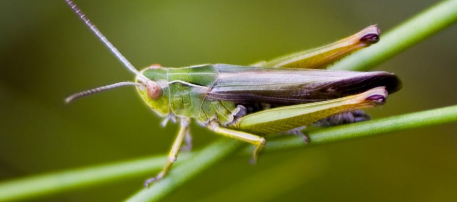 Insekti na meniju i u Evropi