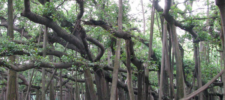 Najšire drvo na svetu