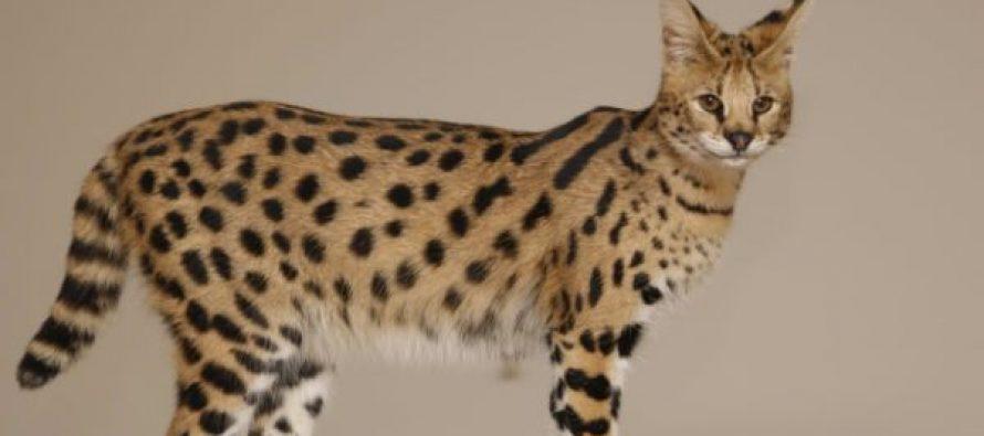 Najskuplje mačke na svetu